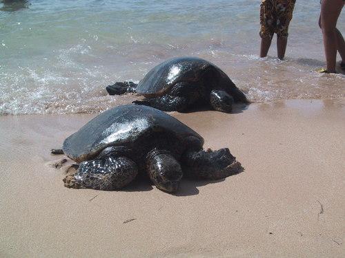 ウミガメが砂浜にやってきた